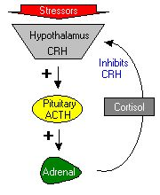 A bit about ACTH (Adrenocorticotropic Hormone) -- a helper in stress management