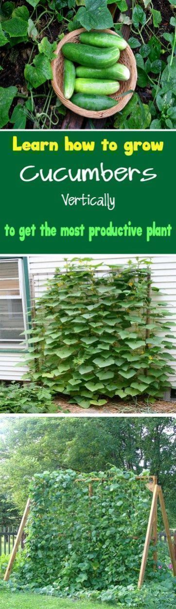 Cucumber Vertical Garden DIY via Urban Gardening Ideas - Learn how to grow cucumbers vertically to get the most productive plant Growing cucumbers vertically also save lot of space. #gardeningideasdiy #growingcucumbersvertically #urbangardening
