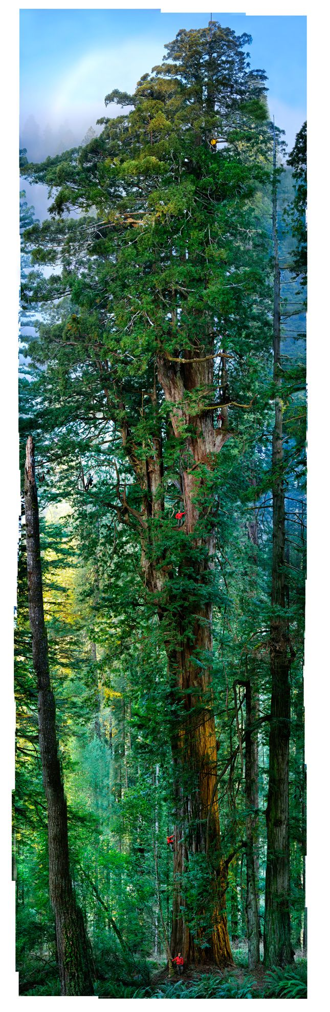 National Geographic - portrait of a redwood. 84 images put together to show a full picture of this gorgeous tree!