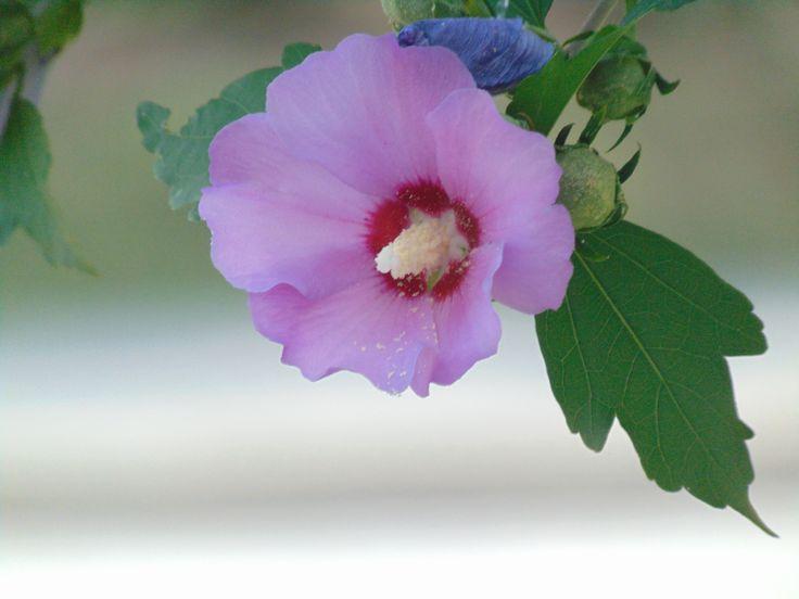 Pink hibiscus | @shanarahsphotos