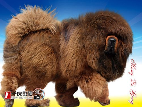 Tibetan mastiff. If I had one, I would totally ride it into battle.