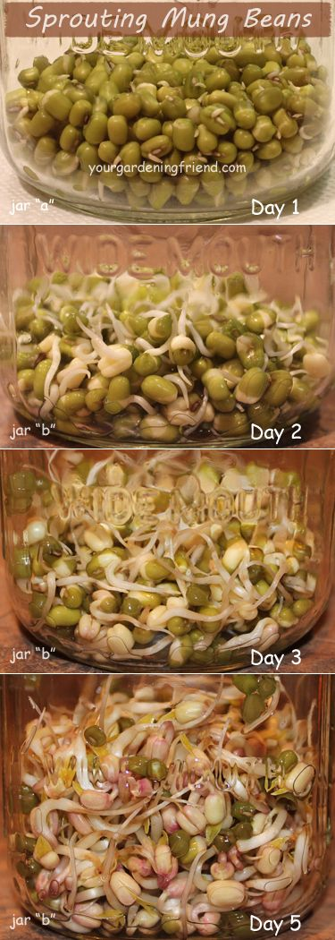 If you've never sprouted beans you're missing out on a lot of fun, yummies, and nutrition!