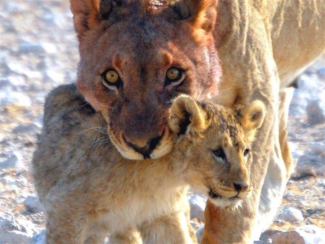 Lioness & cub, Etosha, Namibia
