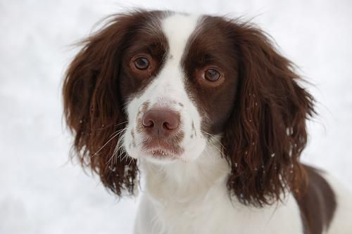 english spaniel...such an expressive face