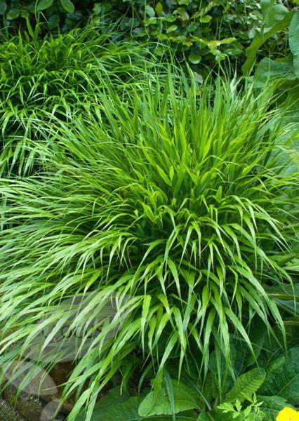 Hakonechloa macra (Japanese forest grass) tolerates shade - Gardener's World Sept'16