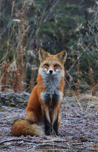 La gente se pregunta que que hace el zorro. Pus el zorro hace lo mismo que el lobo pero mas agudo