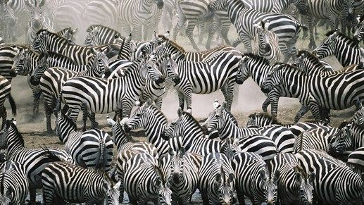 Thousands of sebras can be seen during the great migrations, if you go on a Safari in Serengeti National Park at the right time of the year. #Tanzania #Africa #wildlife #kilroy