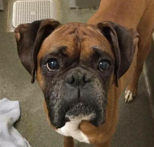 Boxer dog for Adoption in Lake Ann, MI. ADN426972 on