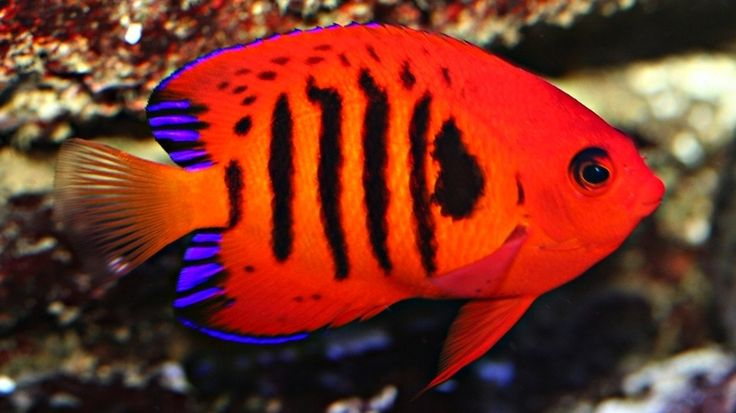 Flame Angel. These images of the most beautiful fish in the world are the perfect primer for summer.