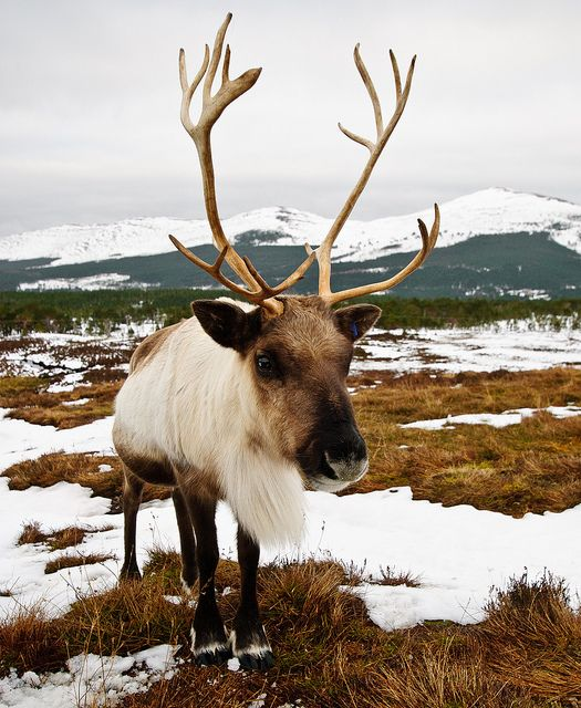 Photo of the Cairngorm reindeer - the only wild reindeer herd in UK. Taken in Glenmore, near Aviemore