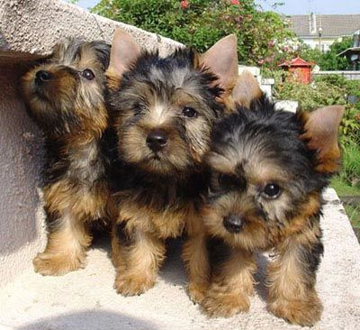 Adorable Silky terrier puppies! (No, they're not Yorkies.)