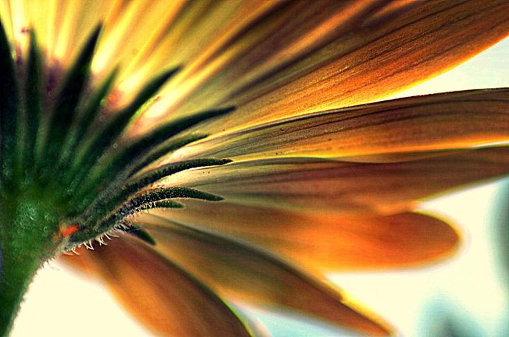 under Spanish Daisy by FerryTjan