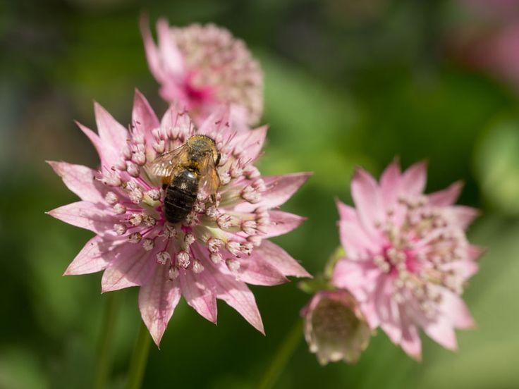Stjerneskjerm er en staude som danner en tett tue med bladverk før den blomstrer i juni/juli. Blomstringen kan være lang med langt liv per blomsterstand, og så fortsetter den å sette nye knopper. Når den er ferdigblomstret kan du klippe den ned så får den nytt friskt bladverk og muligens en bonusblomstring. Blir 60-70 cm høy, og kommer i grå/hvit, og rosatoner helt opp til en ganske mørkelilla. Herdighet er satt til H7-H8 , så dette er en meget hardfør plante. Trives i både sol og…