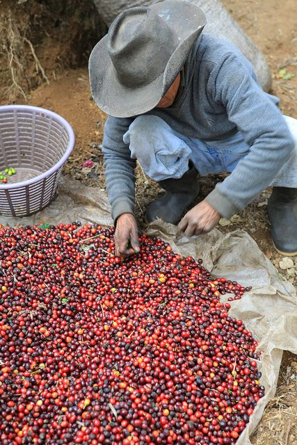 Sorting coffee after picking... by sweetmarias, via Flickr