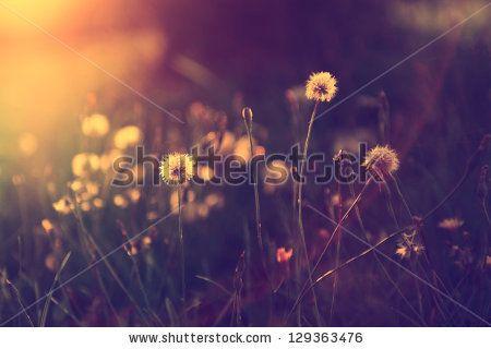 Vintage photo of dandelion field in sunset by Balazs Kovacs, via Shutterstock