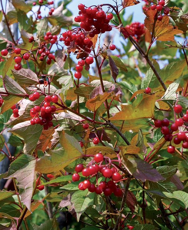 Small Ornamental Trees Nc: 15 Best Images About Edible Vegetaion On Pinterest