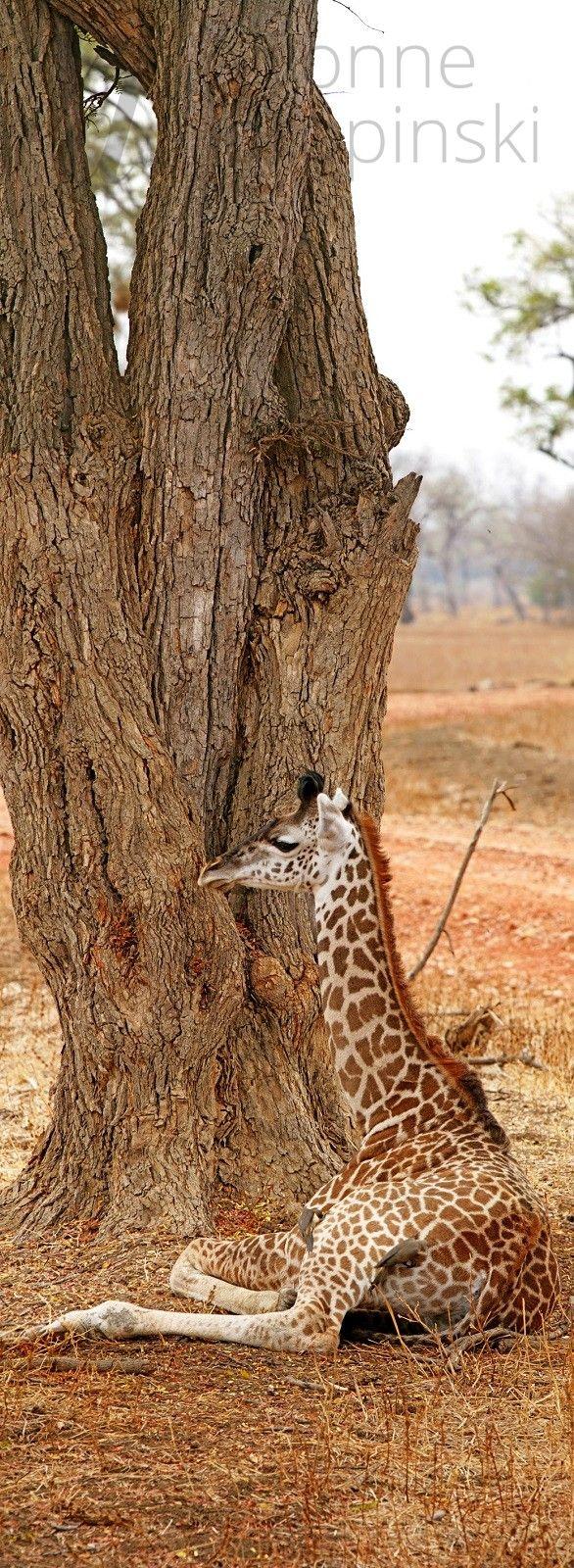 Żyrafa to najwyższe zwierze na świecie nie ma co do tego wątpliwości. Czy wiedziałeś, że to także trzecie w kolejności do największego stworzenia na świecie