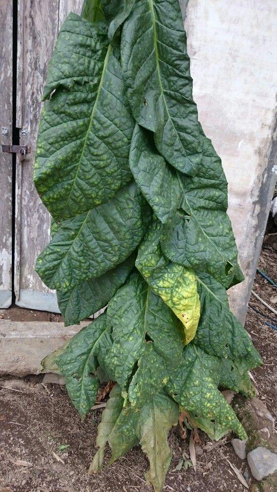Koler tobacco