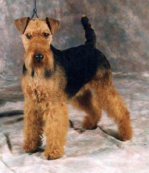 Welsh Terrier | Origin: UK