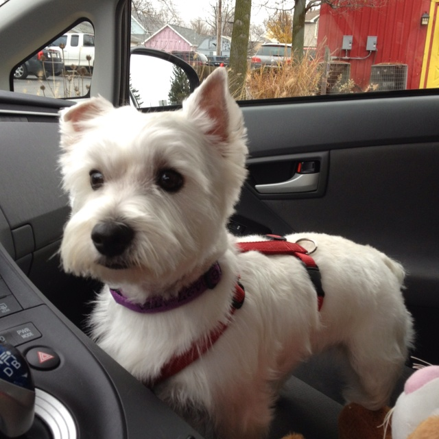 My westie with a fresh haircut