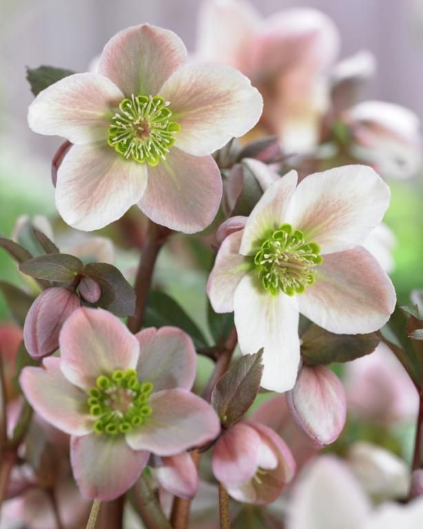 Helleborus 'Pirouette' for winter interest