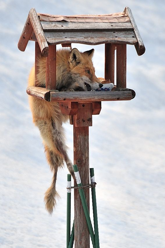 "He is the ""north fox"" which lives in Hokkaido in Japan. He hangs on to the stand for birds in the yard of my house, and comes to eat foods of birds every day. Their foods situation is getting worse like this."