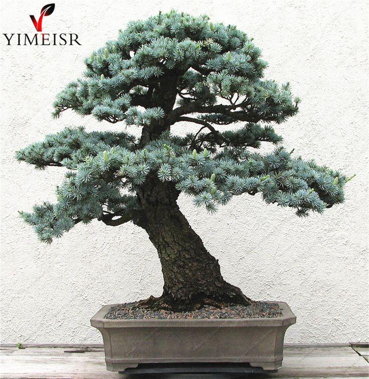 Cedrus deodara seeds Cedrus Deodara Conifer Indoor Plant bonsai tree seeds Light blue Deodara Cedar seed 10pcs/bag