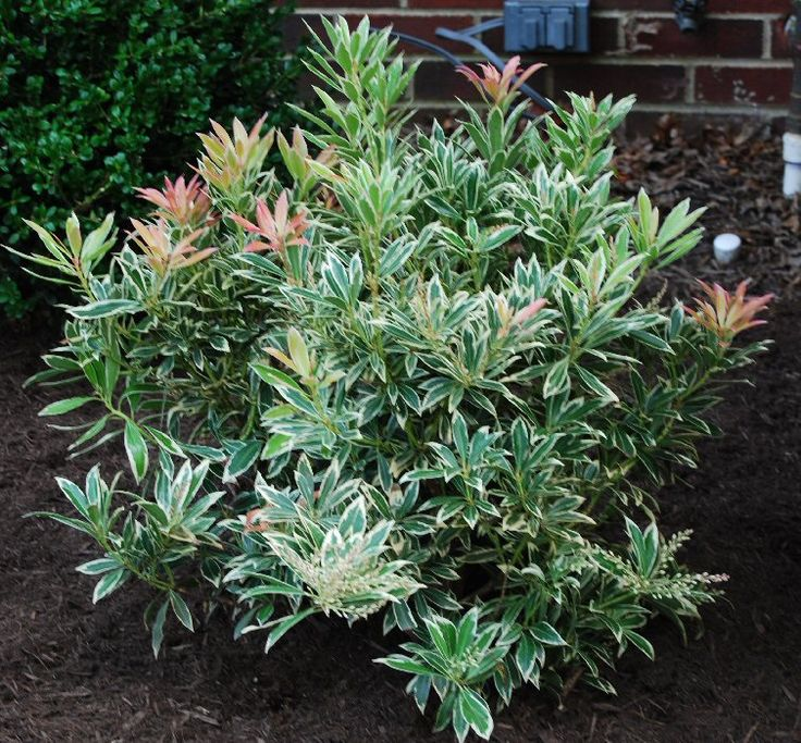 flaming silver pieris variegated