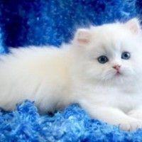 #dogalize Gatto persiano bianco occhi azzurri, tutte le caratteristiche #dogs #cats #pets