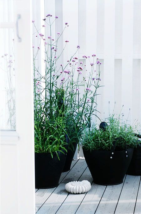 Verbena bonariensis in contemporary black planters - Jätteverbena Perennial Evergreen Flower Color: Purple Bloomtime: Spring/Fall Height: 4-6 feet Width: 2-4 feet Exposure: Full Sun or Partial Shade Drought Tolerant: Yes Irrigation (H2O Info): Low Water Needs Winter Hardiness: 10-15° F