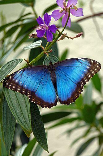 ~Butterfly | Peleides Blue Morpho (morpho peleides)~