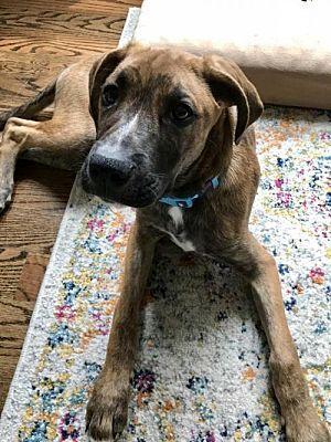 Loganville, GA Boxer. Meet Dexter a Dog for Adoption