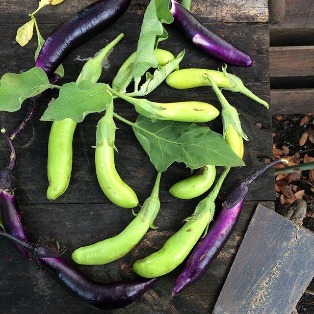 Berenjenas ¿de temporada? 😱 #eltiempoestaloco  Os lo cuento todo en el #blog 🍆💚💜🍆 👉link the bio 👈👆 Eggplants in December?? 😱Weather is crazy 🍆💚💜🍆 #berenjenasqueenamoran #elhuertodetialou #slowlife #slowfood #slow #lifestyle #colors #colorfull