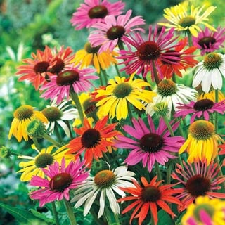 Butterfly Hybrids Coneflower Mix