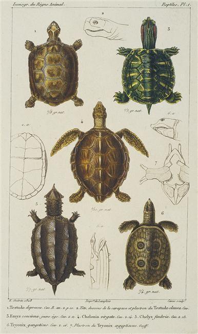 Planche de tortues Guérin-Méneville Félix Edouard (1799-1874) ,  entomologis