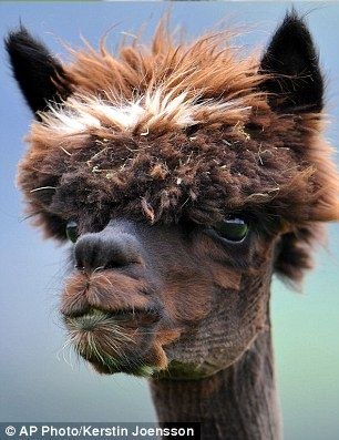 "This must be a Russian alpaca--or a fan of Samuel Jackson in ""Pulp Fiction."""