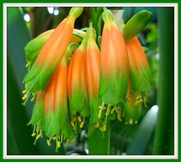 Gardenii Green Desire in flower at Utopia Clivias 27/04/2013