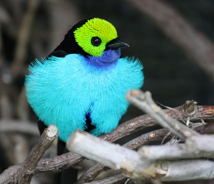 tanager: San Diego, Exotic Birds, South America, Vibrant Colors, Paradis Aggravating, Colors Birds, Beautiful Birds, Animal, Mothers Natural