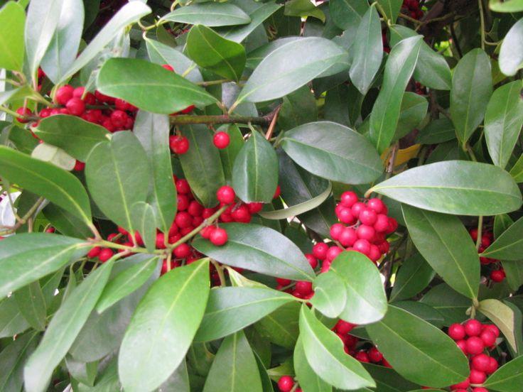 Dahoon Holly Evergreen Tree With Gray Bark 20 To 30 In
