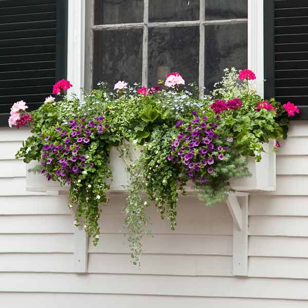 The stems of bacopa, dichondra, and parrot's beak drape down as geranium, lobelia, 'Diamond Frost' euphorbia, and calibrachoa add welcome color. | Photo: Deborah Whitlaw Llewellyn | thisoldhouse.com | from Plant a Better Window-Box Garden