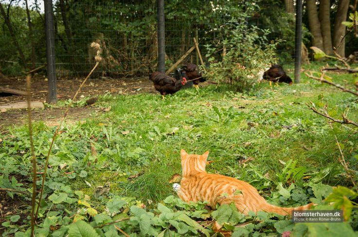 Katten Konrad ligger og lurer på hønsene … hmmm …