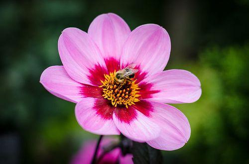 Bee is working hard on a beautiful flower