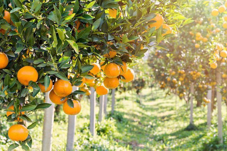 Zone 9 Citrus Trees Growing Citrus In Zone 9 Landscapes Citrus Trees Growing Citrus Winter Vegetables Gardening