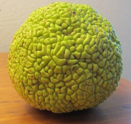 9 best images about hedge ball monkey ball tree on pinterest for Home remedies to keep spiders away