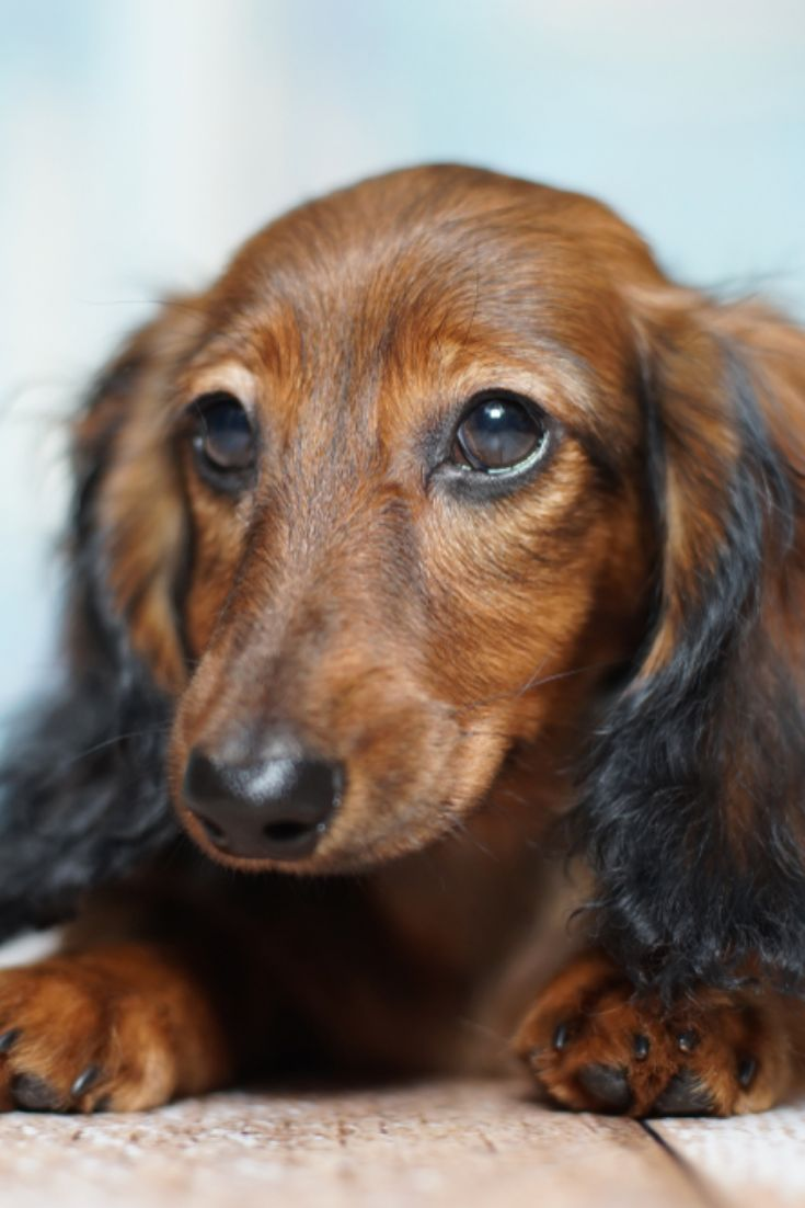 Dachshund langhaar pupp dachshund langhaar puppy in 2020