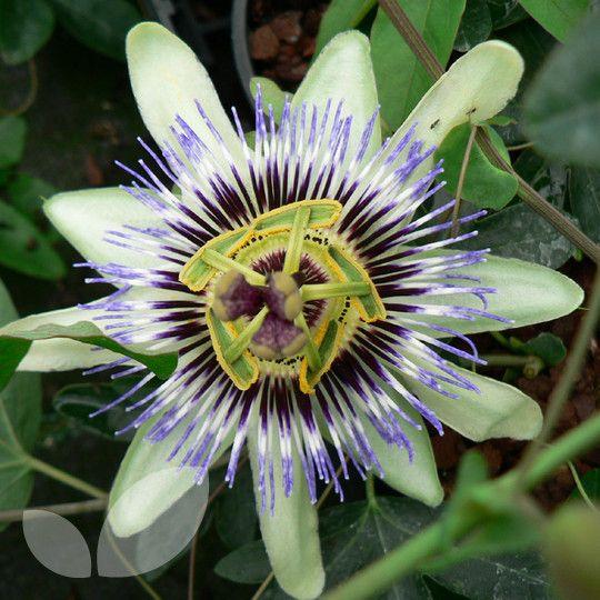 Passiflora caerulea - Blue Passion Flower Blackmoor Nurseries