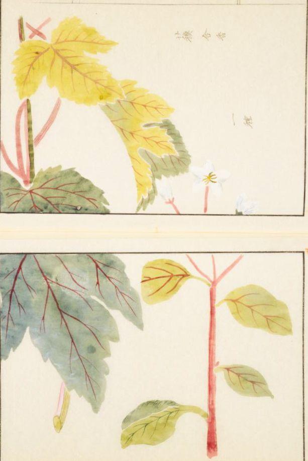 蘇合香 styrax, Liquidambar orientalis Miller, マンサク科  本草図譜  岩崎 灌園, Honzo-Zufu, KanEn Iwasaki (1830)