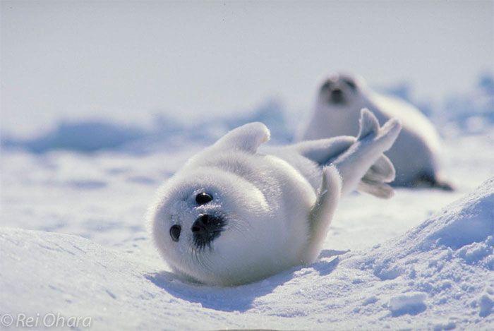sweet baby Harp Seals...