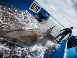 Great white shark named Lydia becomes first known white shark to cross Atlantic | GrindTV.com