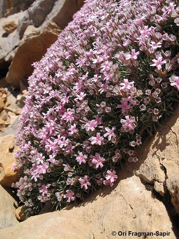 Acantholimon libanoticum, BEATIFUL WILD FLOWERS
